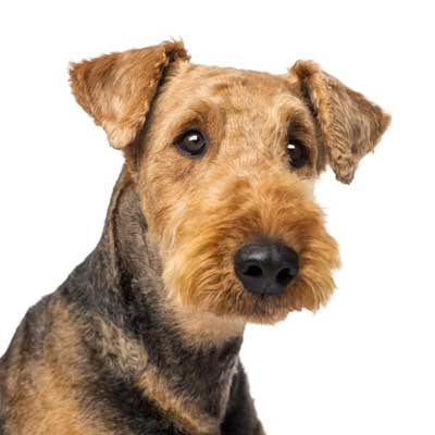 218Airedale Terrier