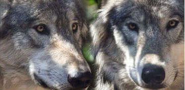8 Maremmani vengono ingaggiati come cani anti-lupo