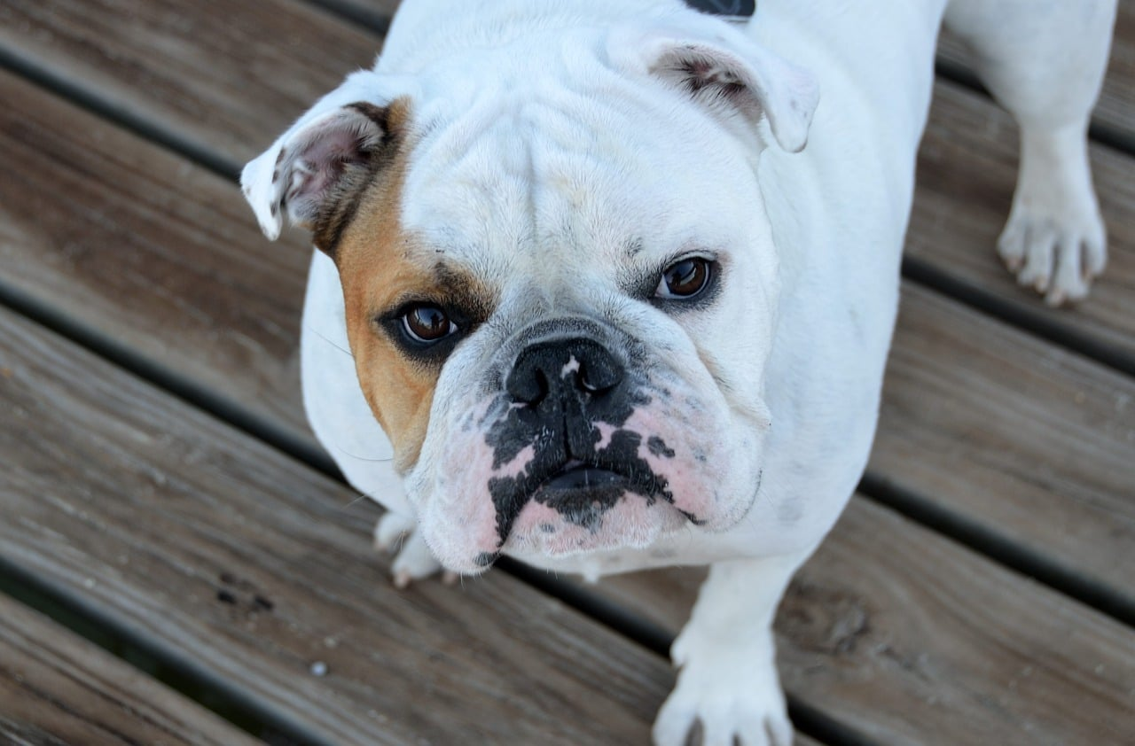 il bulldog