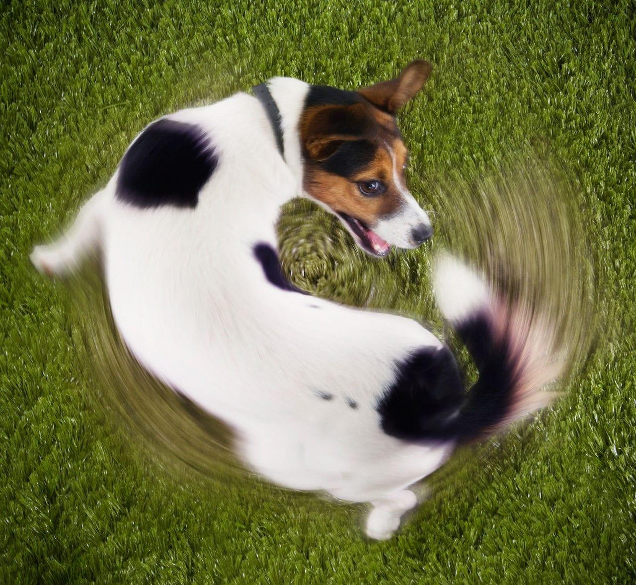 Il mio cane tenta di mordersi la coda. Come mai?