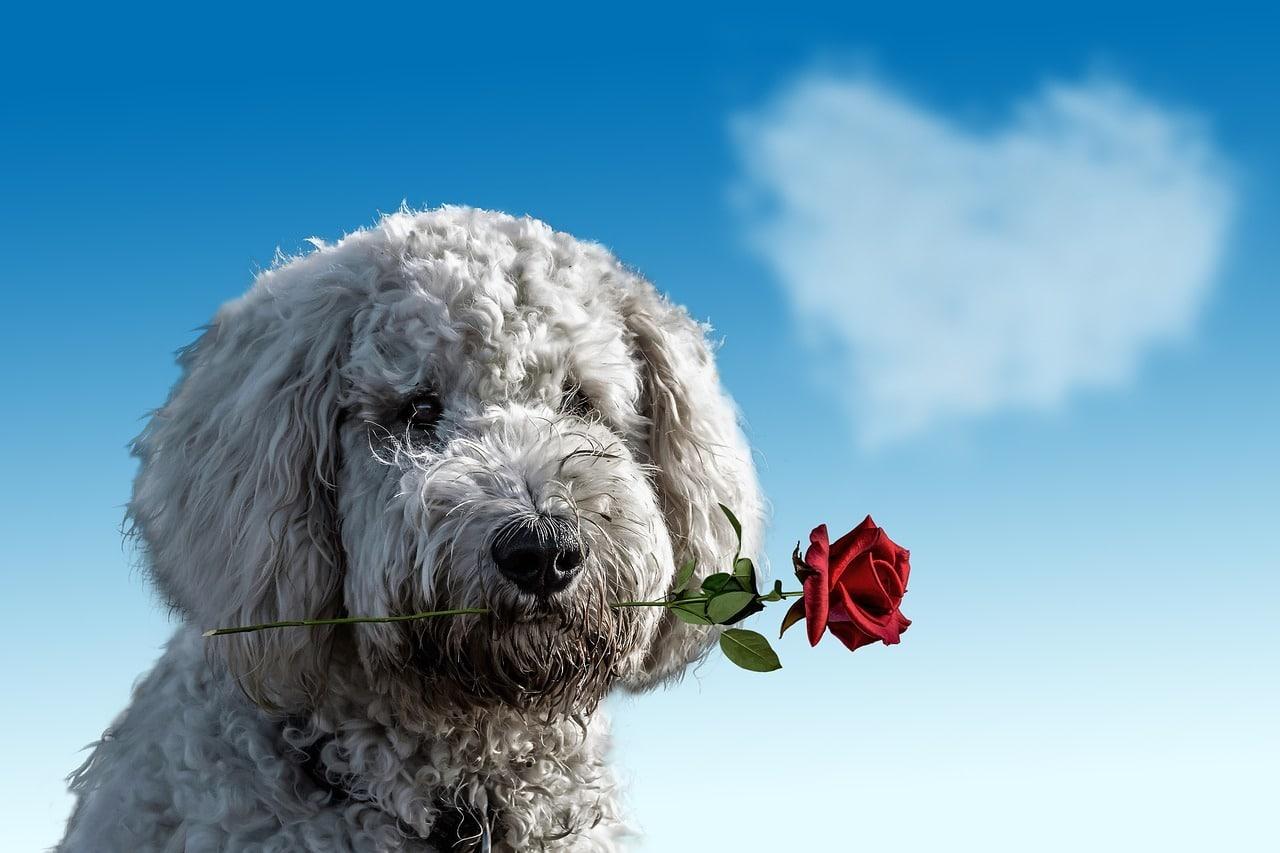 Il cane maschio ed il calore: istruzioni per l'uso