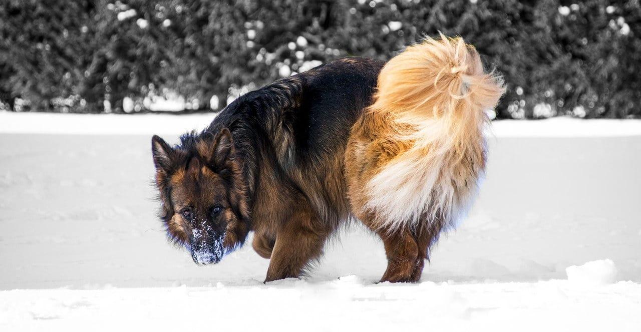 cane-lupo-nella-neve