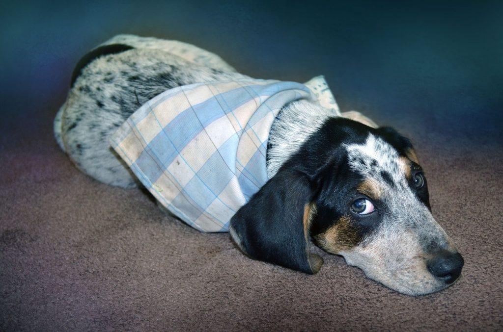 cane-malato-avvolto-in-una-coperta-1024x677