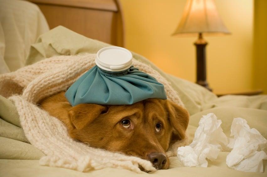 Come capire se il tuo cane è raffreddato
