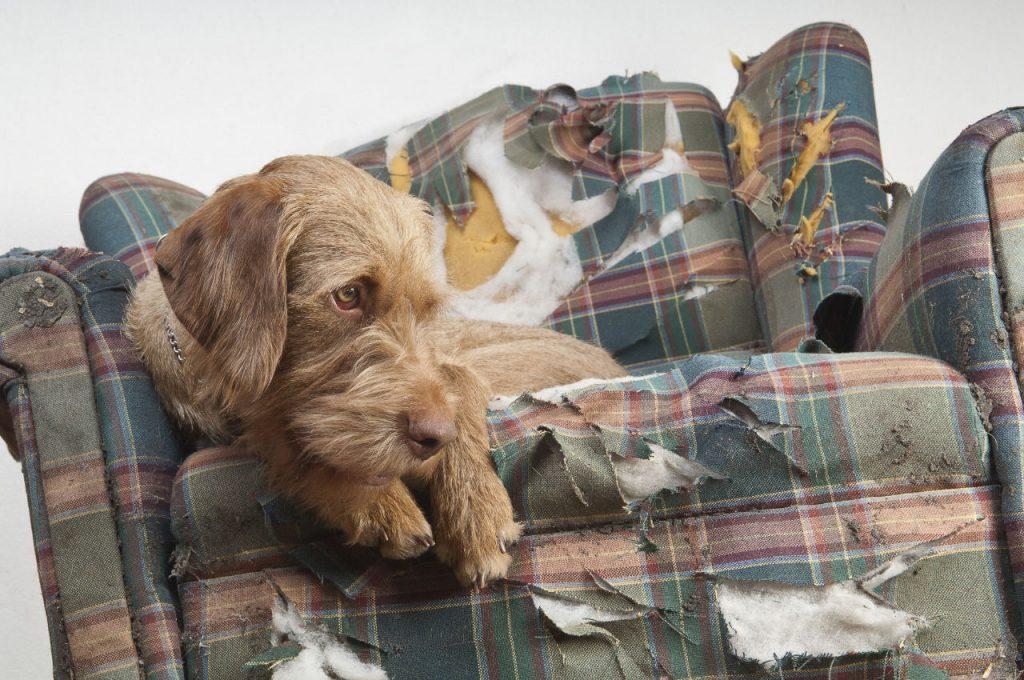 cane su divano distrutto