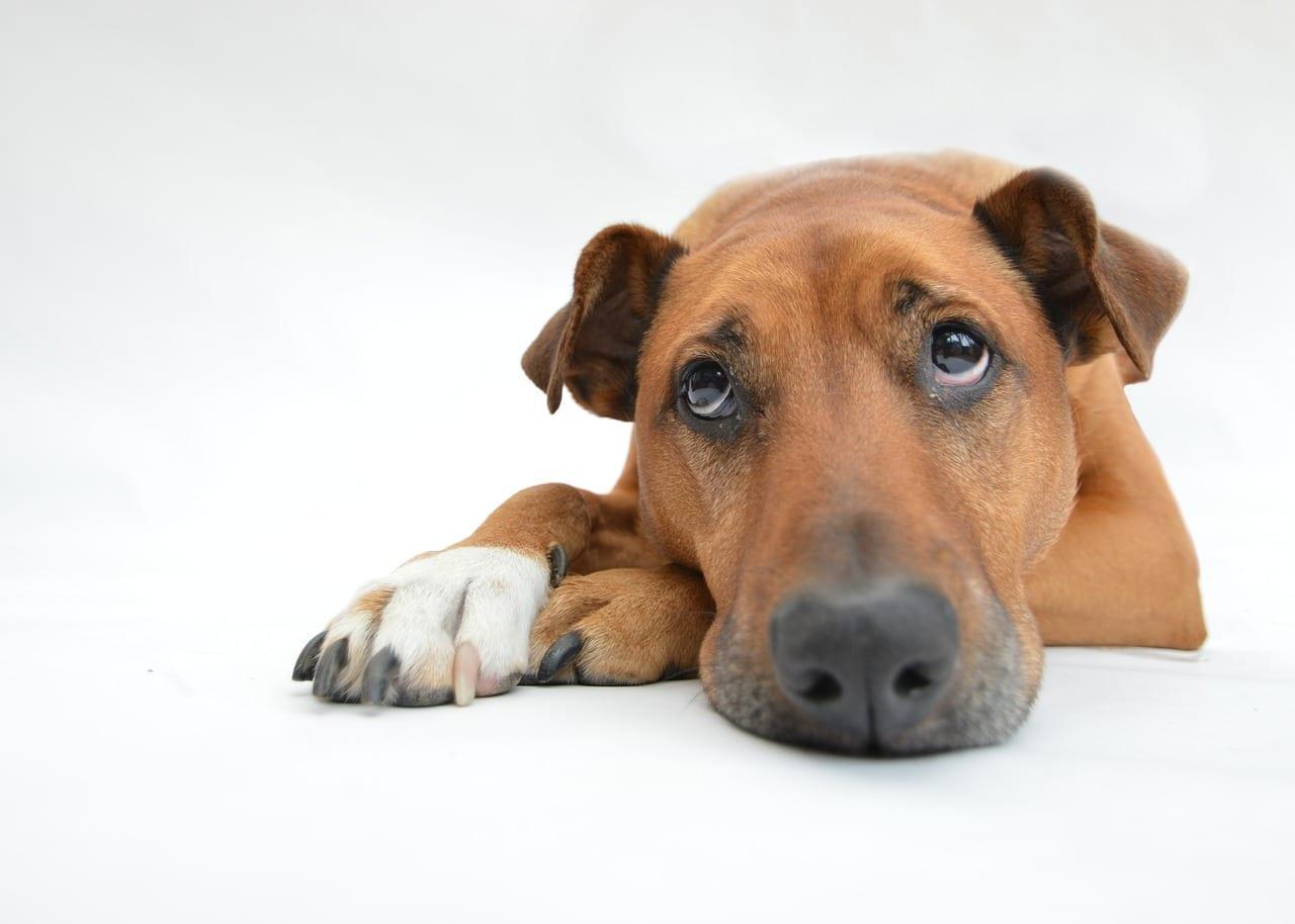 Come capire se il tuo cane è depresso