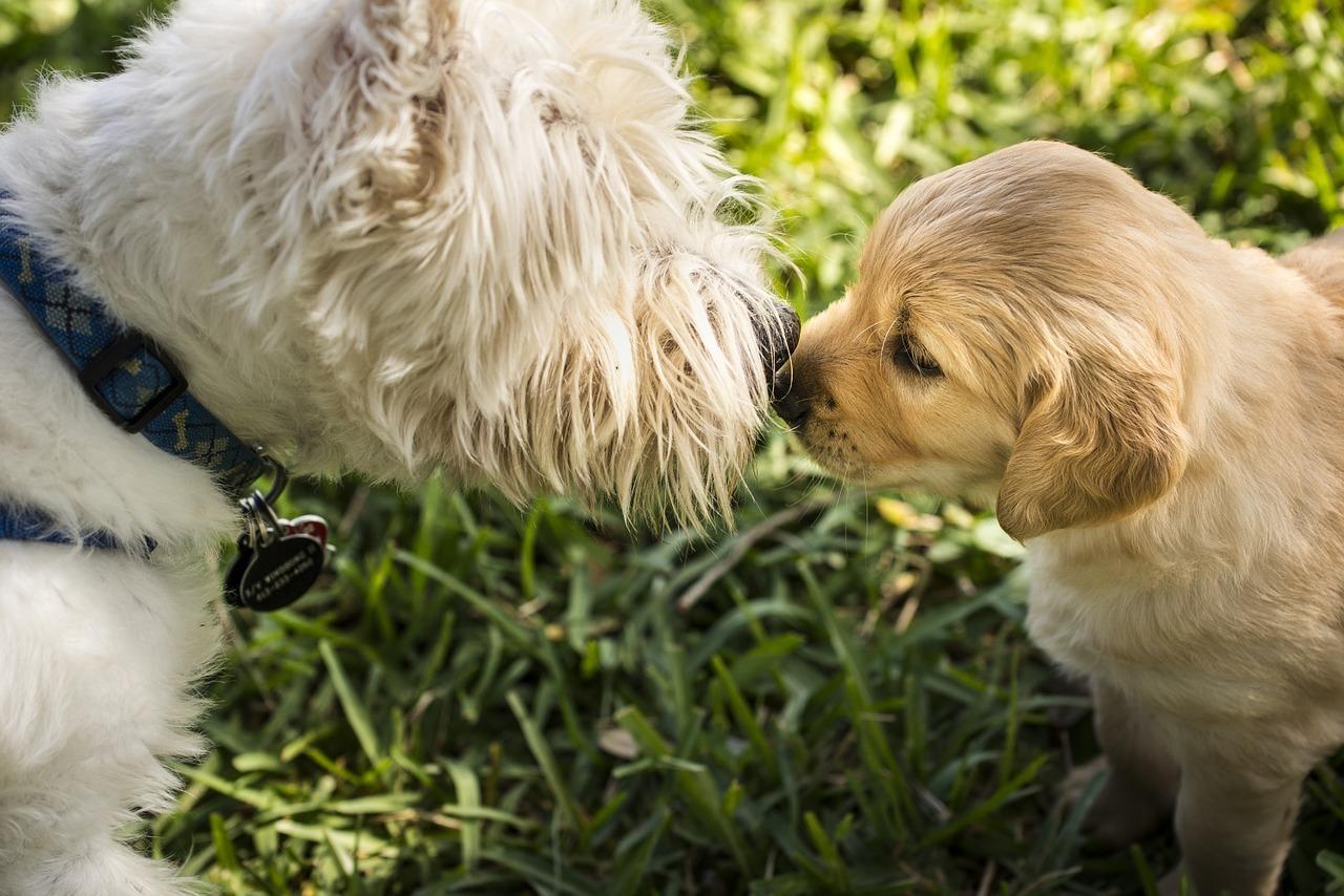 Il modo migliore di far conoscere due cani