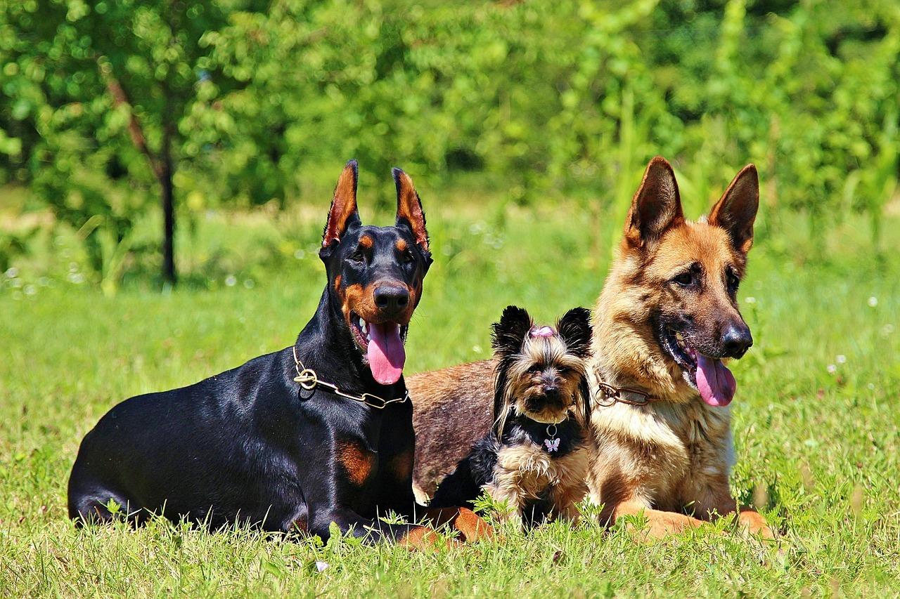 Quali sono i cani da guardia migliori?