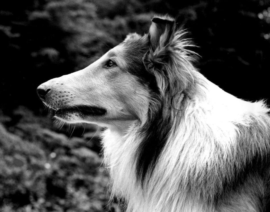 Cani famosi: Lassie