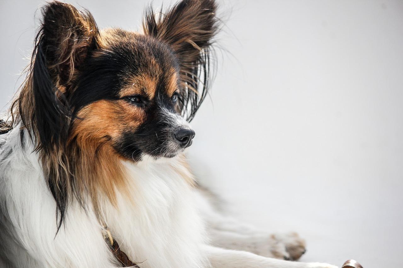 Il metodo migliore per pulire le orecchie al cane
