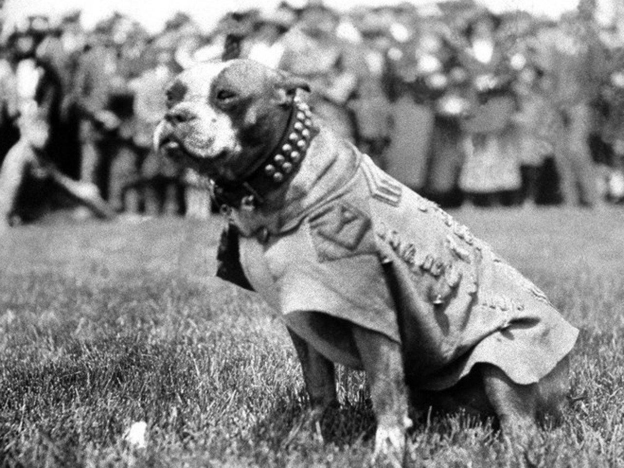 Cani famosi: sergente Stubby