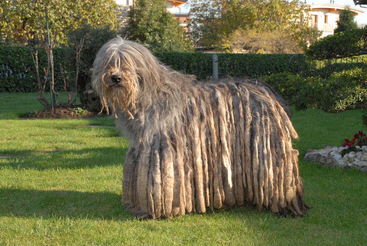 il cane da pastore bergamasco