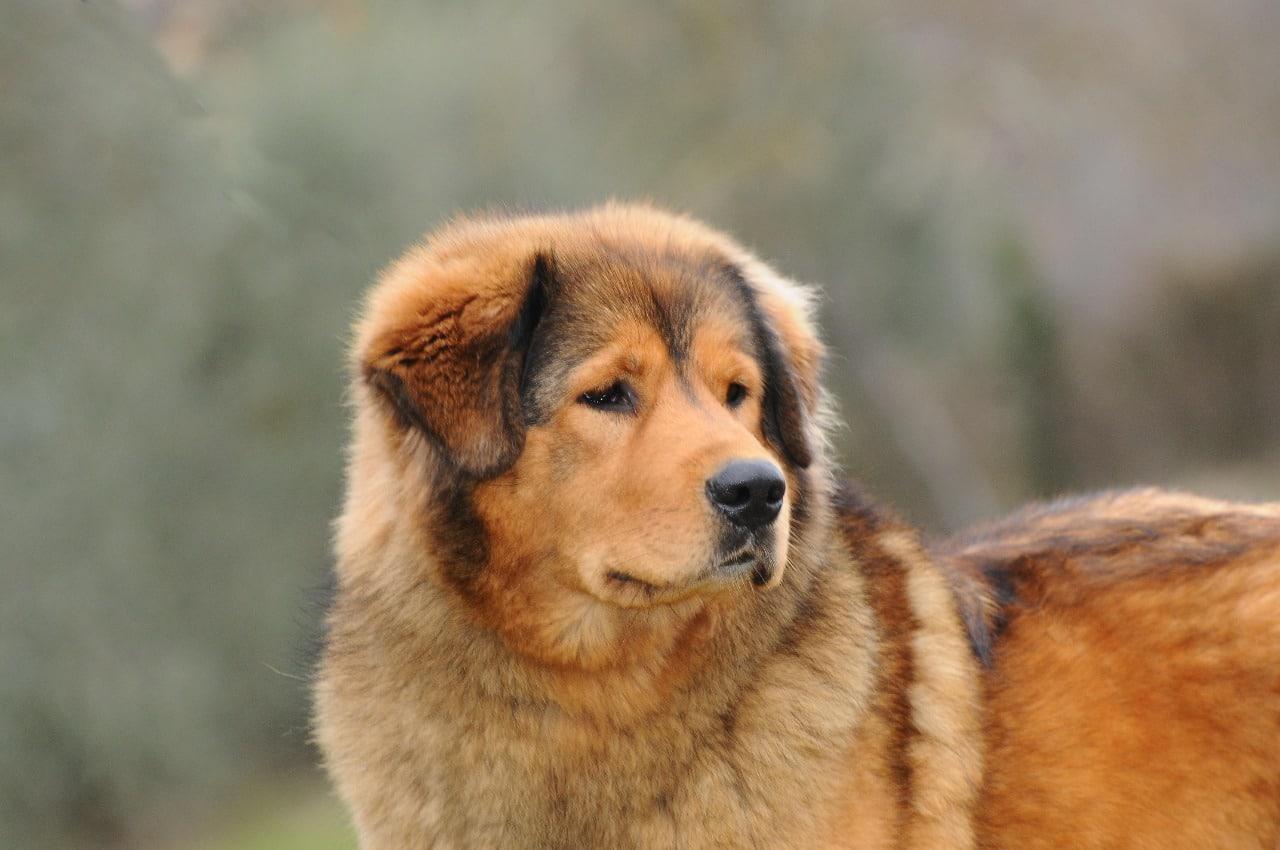 il Tibetan Mastiff
