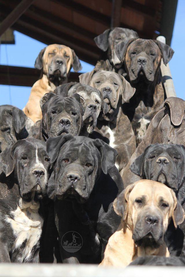 Il Cane Corso Scopri Questa Fantastica Razza Che Ha Tanto Da Regalare