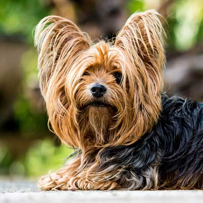 6201Yorkshire Terrier