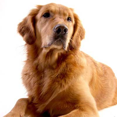 6146Golden Retriever