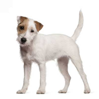 6196Parson Russell Terrier
