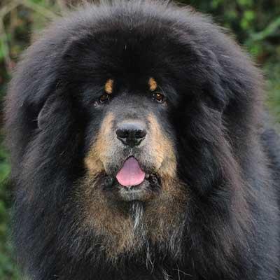 6186Tibetan Mastiff