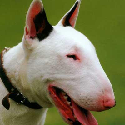 Bull Terrier Inglese Miniatura