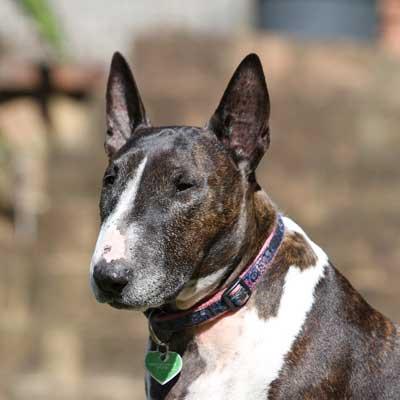 6200Bull Terrier Inglese Taglia Normale