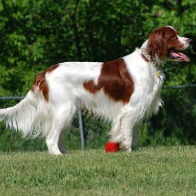 Setter Irlandese Rosso-Bianco