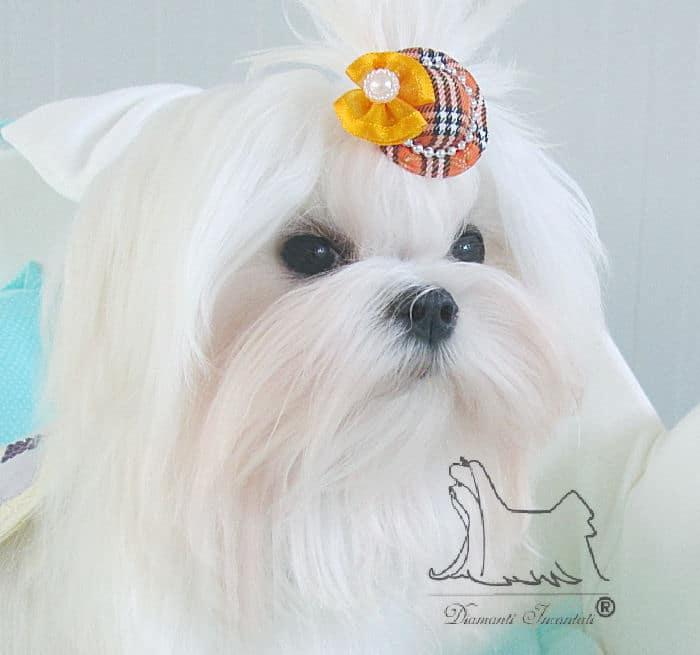 Il Maltese Scopri Tutto Sul Carattere Di Questo Piccolo Cane Setoso