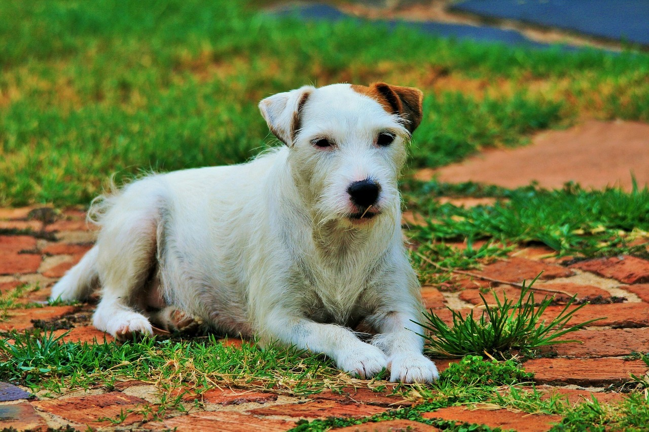 il Parson Russell Terrier