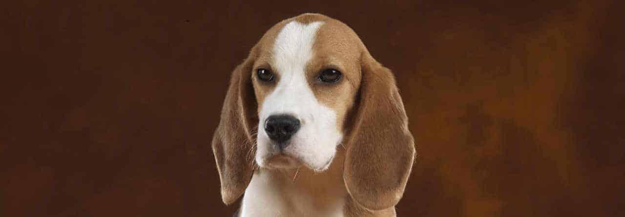 il Beagle