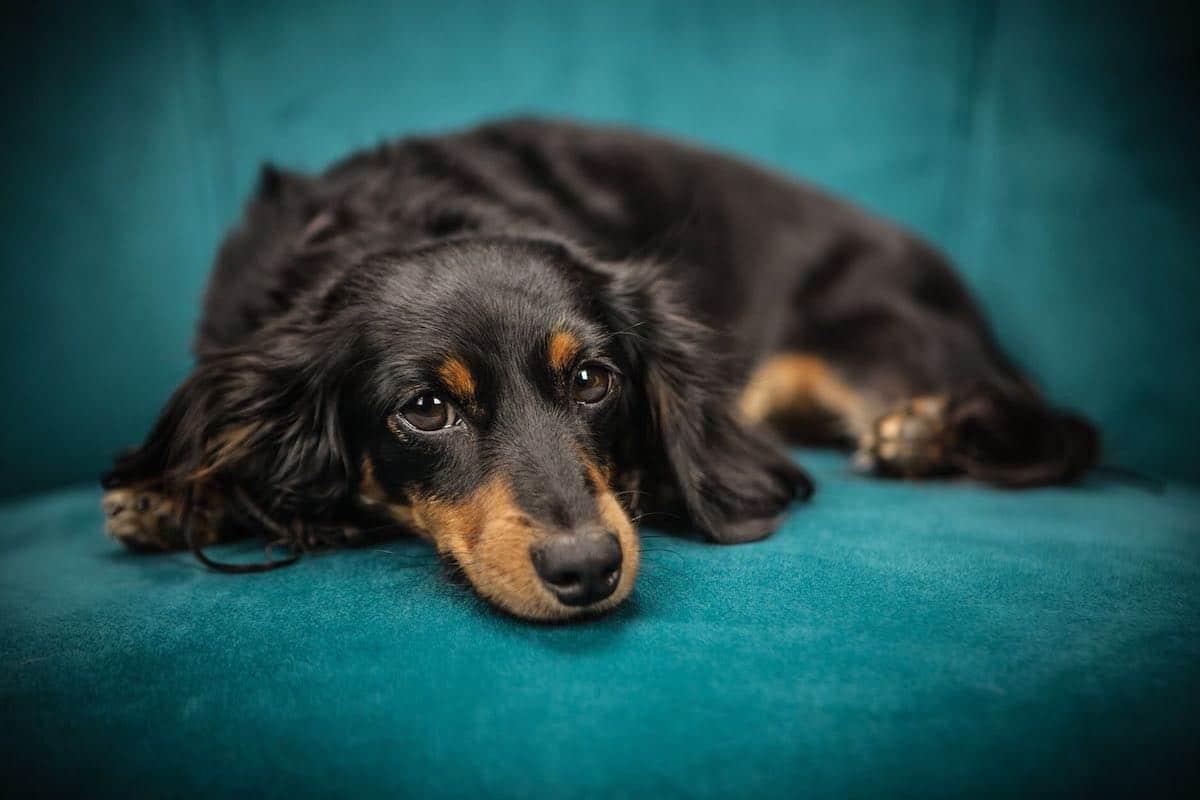 Perch il mio cane scava prima di mettersi a dormire io e il mio cane - Perche i cani scavano sul divano ...