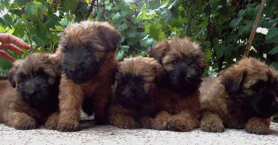 All. Iulius Cuccioli di Soft Coated Wheaten Terrier