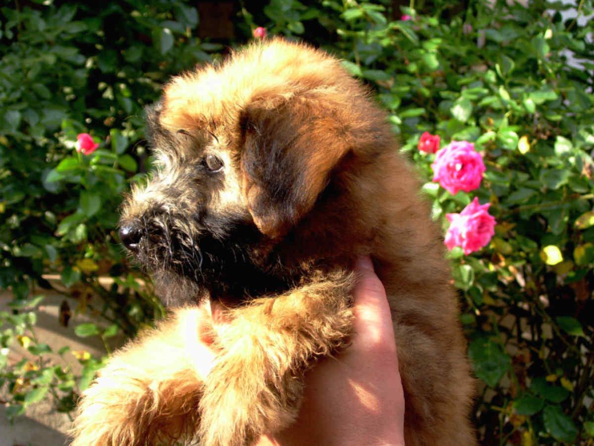 All. Iulius Cucciolo di Soft Coated Wheaten Terrier