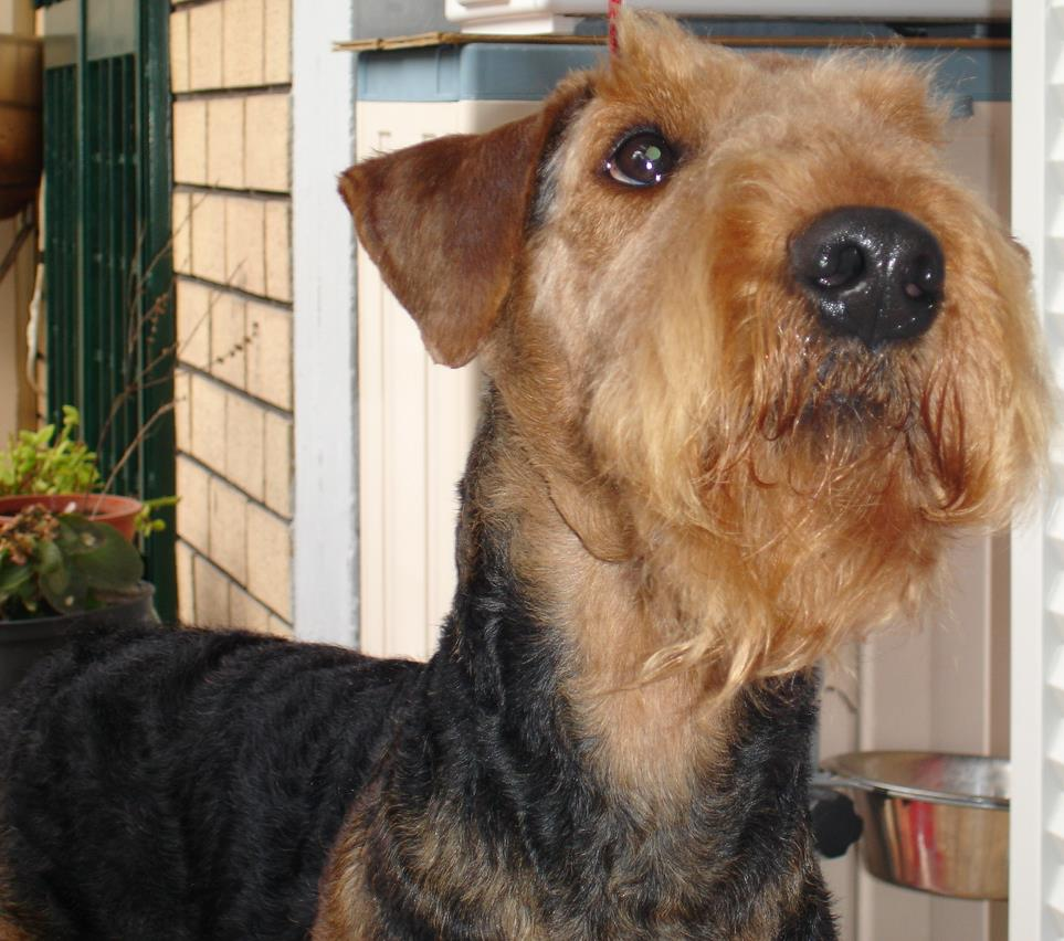 l'Airedale Terrier