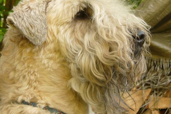 l'Irish Soft Coated Wheaten Terrier