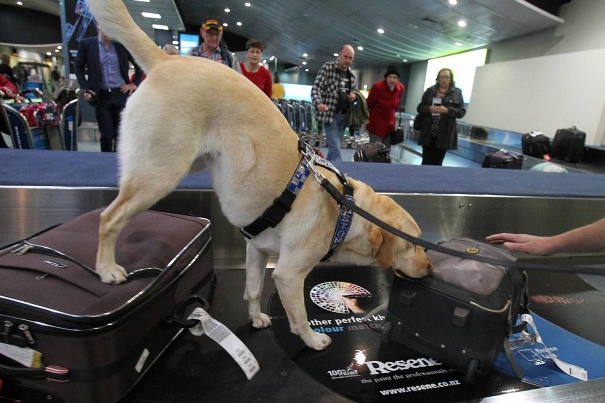 Cani antidroga: quali sono le migliori razze di cani antidroga