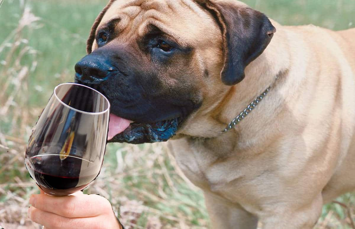 Cani addestrati come sommelier