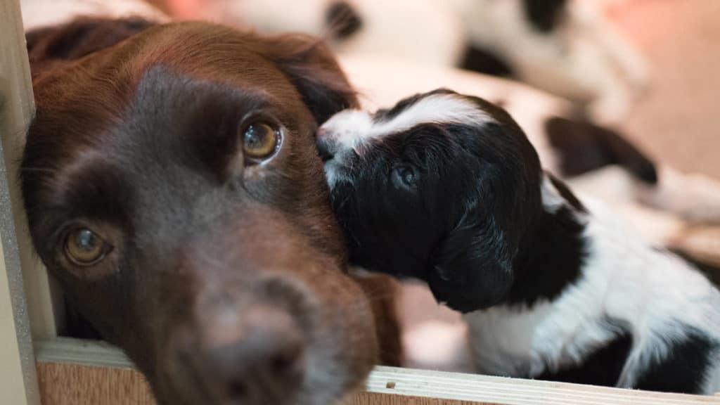 cagna incinta con cucciolo