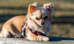 Perchè il mio cane odia la pettorina?