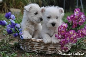 il West highland white terrier (westie)