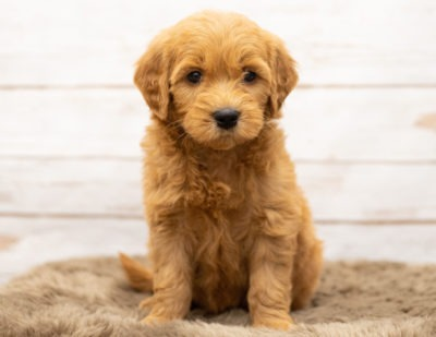 Goldendoodle-400x309