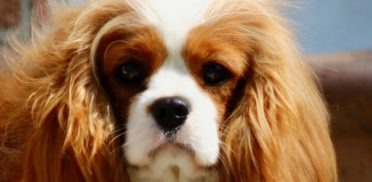 cavalier-king-charles-04-372x182