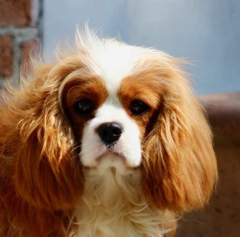 il Cavalier King Charles