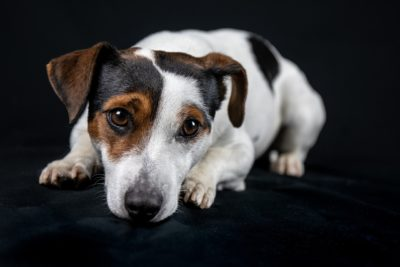 jack-russell-400x267