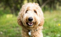 Incroci tra le razze: aumentano i cani sofferenti