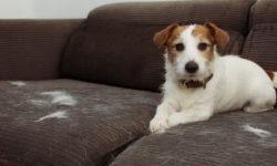 Il cane perde il pelo: cosa fare?